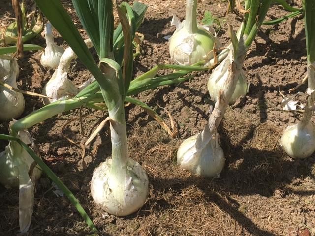 onion white sweet Spanish
