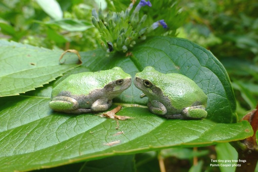 two thumbnail size gray tree frogs Pamm Cooper photo