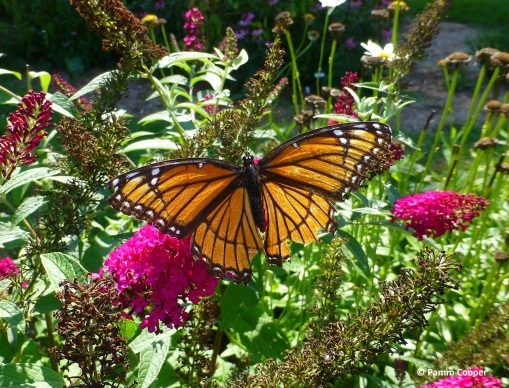 Viceroy butterfly on 'Miss Molly' butterfly bush September 2017