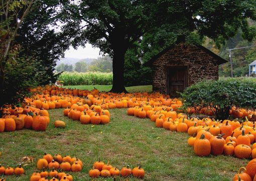 PumpkinsonGrass.wikipedia.jpg