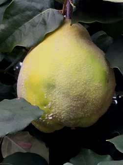 quince fruit 2