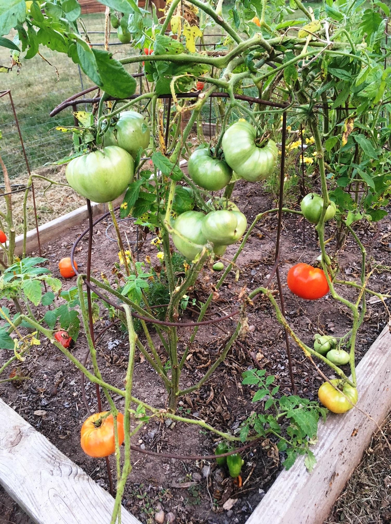 tomatoes end of season