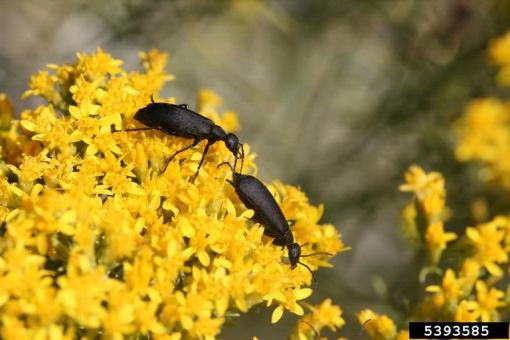 blisterbeetle.black.bugwood