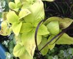 Coleus downy mildew