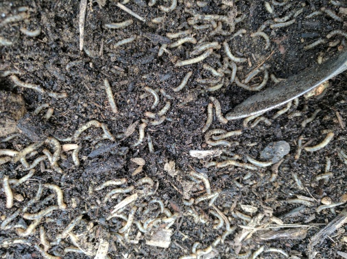 Cutworm or fungus gnat larvae