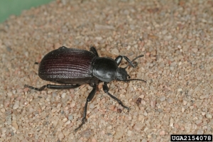 Blister Beetles | Uconnladybug's Blog