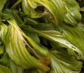 Hosta with anthracnose