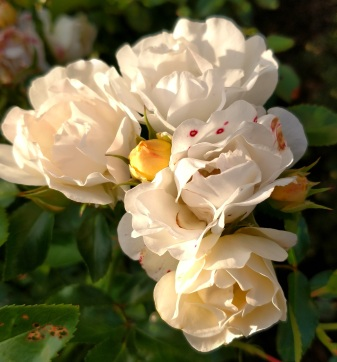 Rose with B. cinerea 2