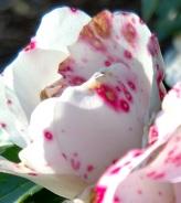Rose with Botrytis cinerea