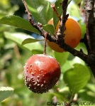 Serviceberry quince rust