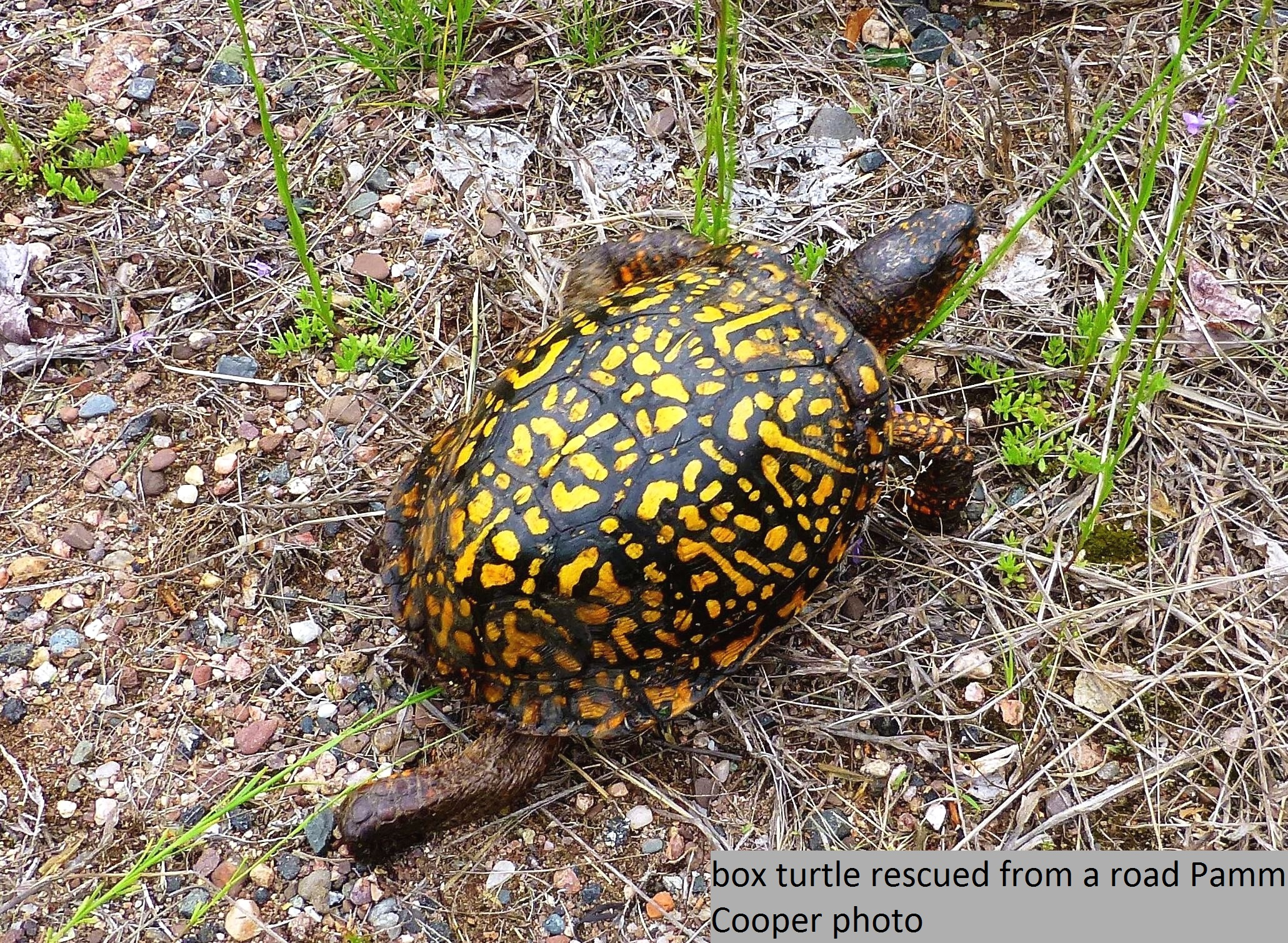 box turtle crossed road day after rain 5-30-16 Pamm Cooper phot copyright 2016