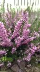 heather (Erica carnea, Springwoodpink)