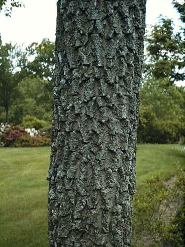 persimmon bark, uconn plant database photo
