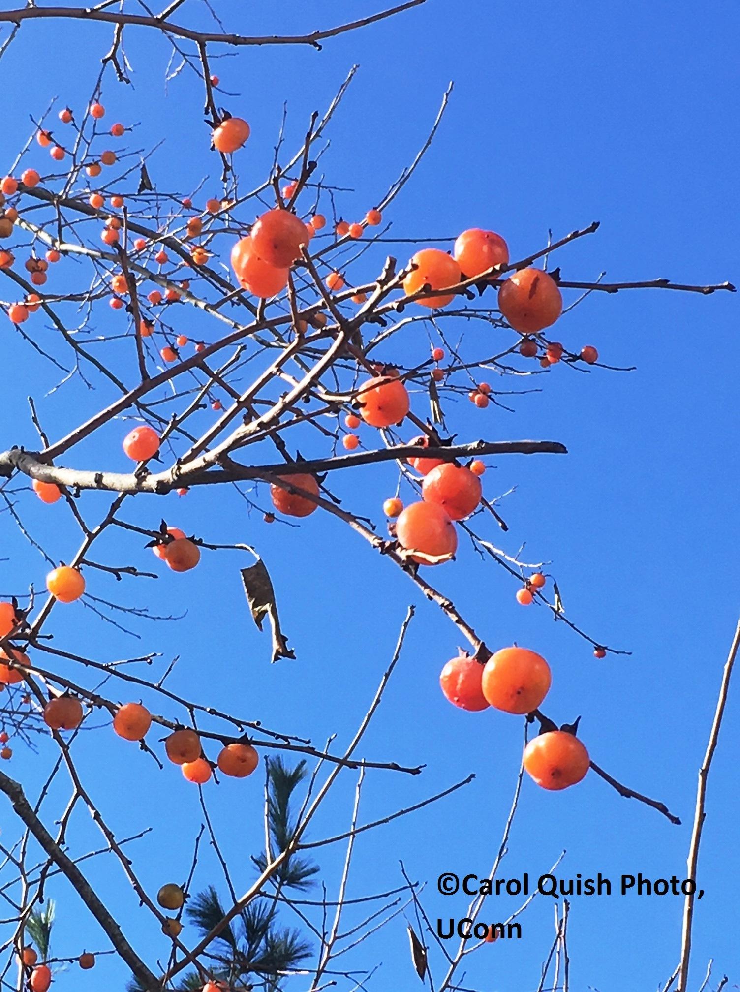 Persimmon fruit, blue sky