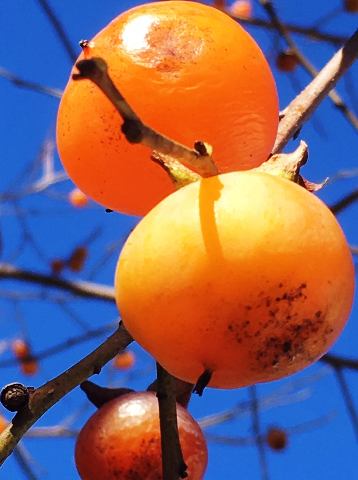 Persimmon fruit close up