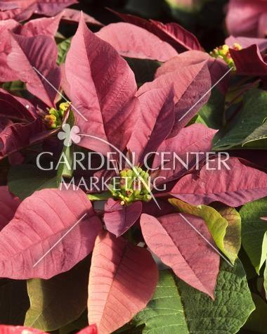 Plum Pudding from garden marketing