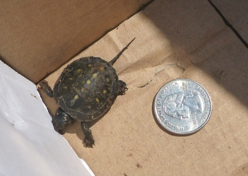 spotted turtle one week old 2012