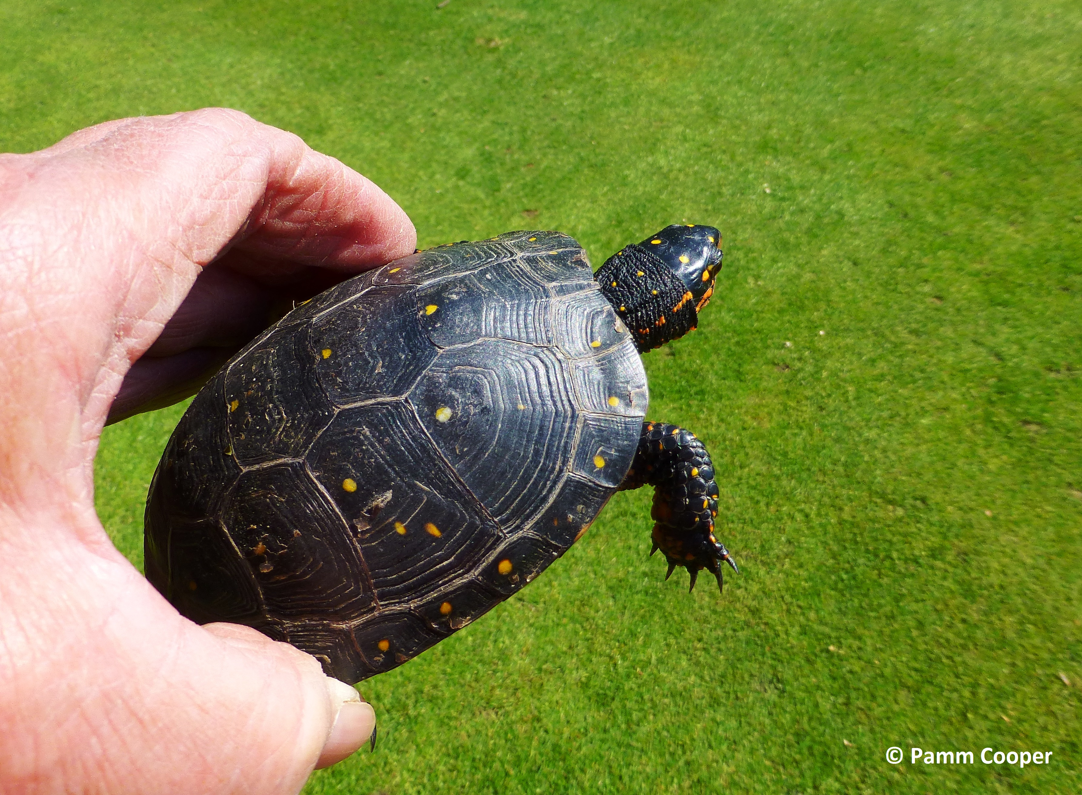spotted turtle saved from the mower