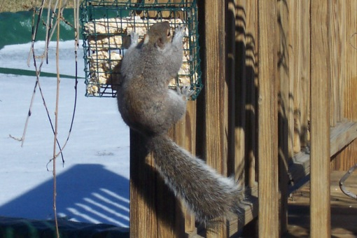 Squirrel on the suet feeder