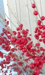 winterberry closeup