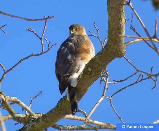 Coopers hawk in yard Jan 8 2018