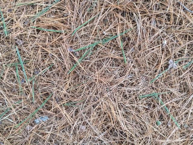 white pine fallen needles