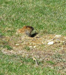 woodchuck at entrance to tunnel