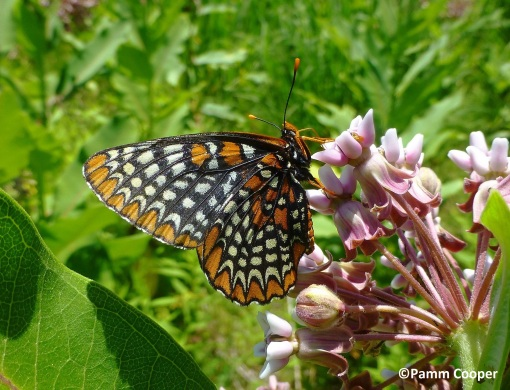 Baltimore Checkerspot July 6, 2014
