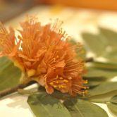Brownea rosa-de-monte (Scarlet-flowered brownea)