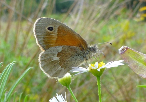 common ringlet Belding 9-5-12