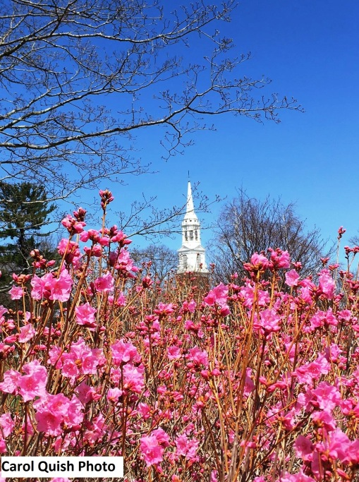 Cornell Pink Azalea and Steeple