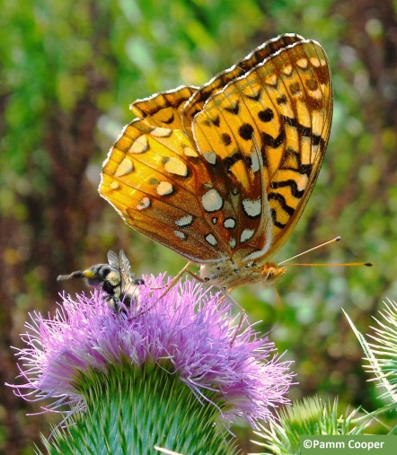 fritillary and diving bee on thistle late summer