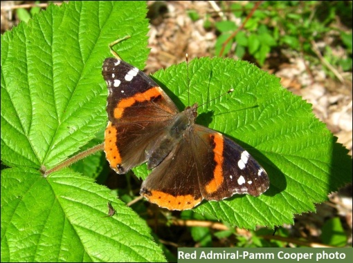 red admiral brushfoot butterfly Pamm Cooper photo - Copy