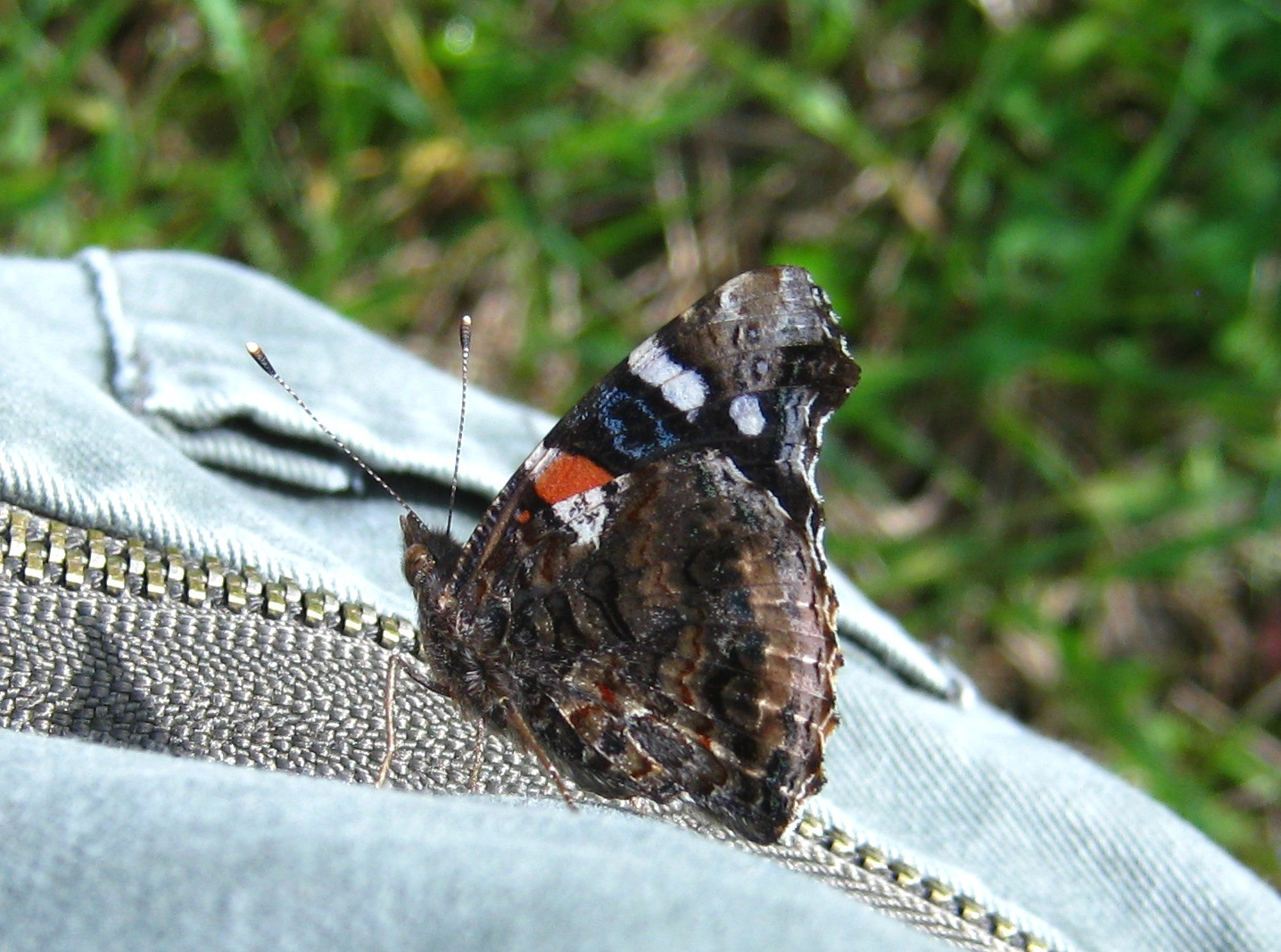 red admiral on my pants 5-6-12