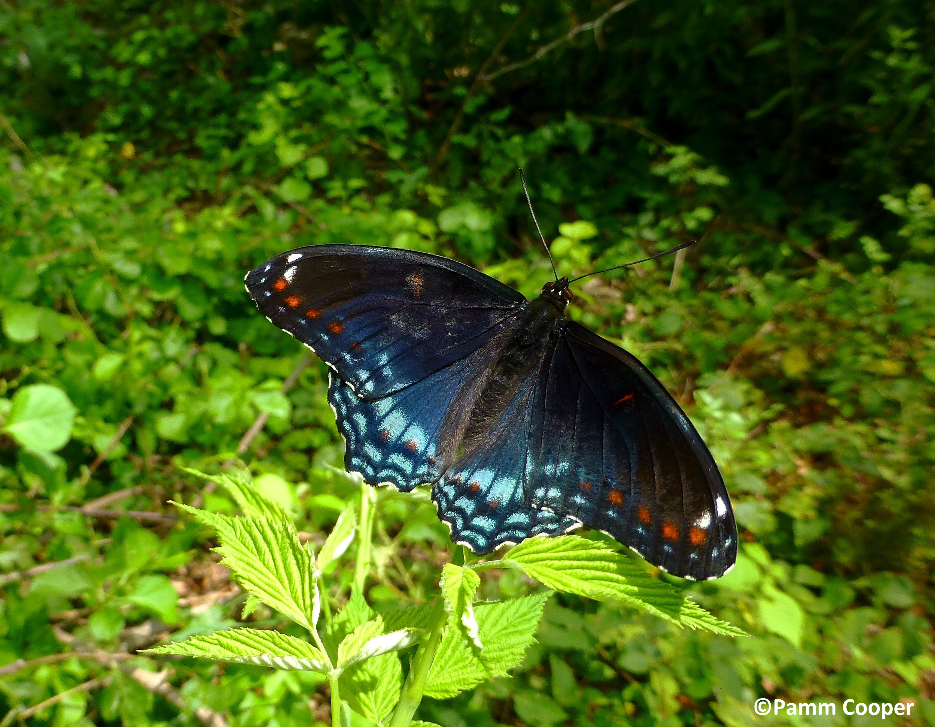 Red spotted purple hybrid UConn