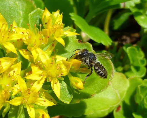 bee on gold sedum late June - Copy