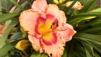 Daylily Hemerocallis 'Peach Candy'