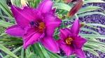 Daylily Hemerocallis 'PurplePassage'