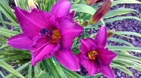 Daylily Hemerocallis 'Purple Passage'