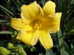 Daylily Hemerocallis Stella deOro