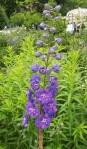 Delphinium 'Guardian Blue'