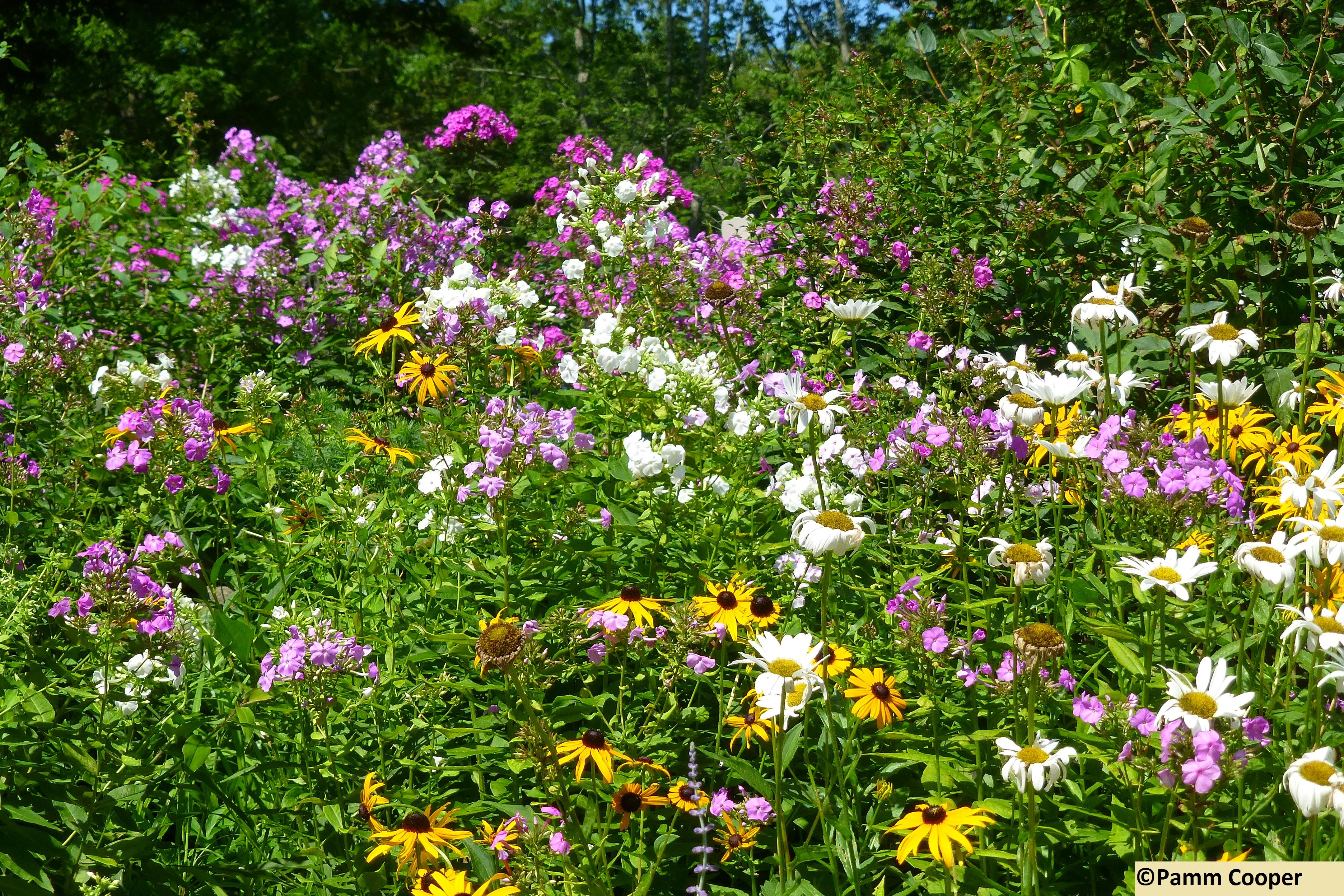 fabulous garden- summer phlox, rudbeckia, daisies