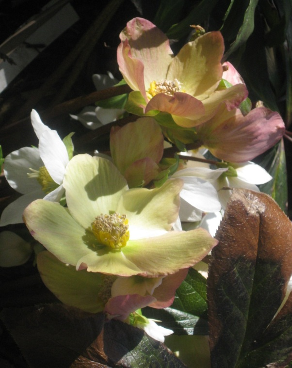 Helleborus by Dawn Pettinelli