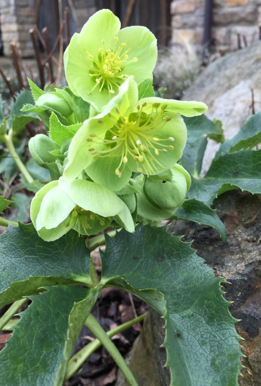 Helleborus by Lisa Rivers