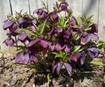 Helleborus orientalis 2