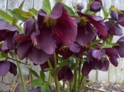 Helleborus orientalis from below