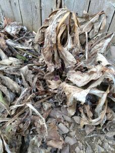 Helleborus orientalis late winter