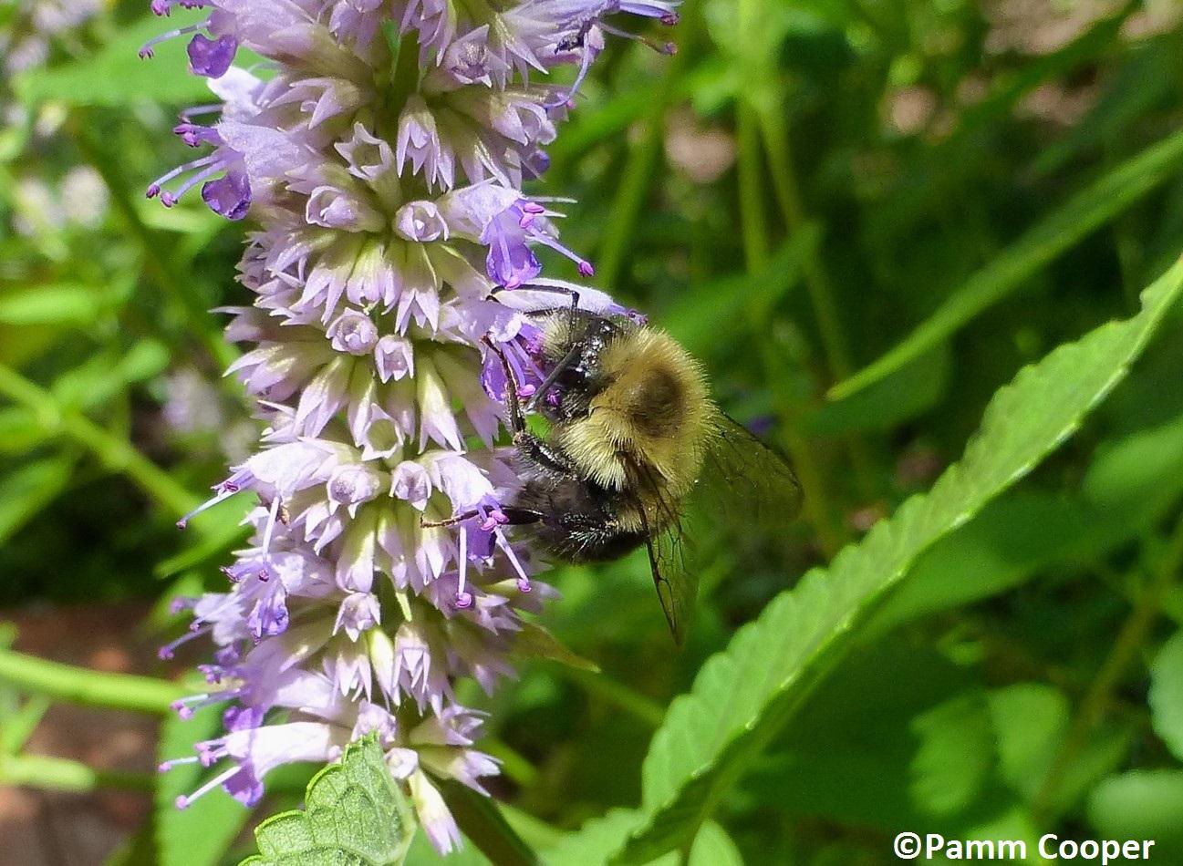native bee on blue giant hyssop Agastache foeniculum