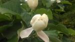 Oyama magnolia 1