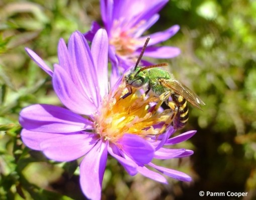 sweat bee on aster